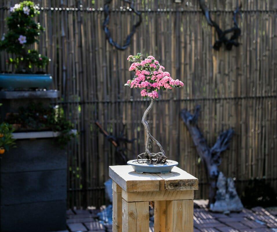 Bonsai Yamadori mit Blüten  Rotdorn 'Paul's Scarlet von Josef Rauscher