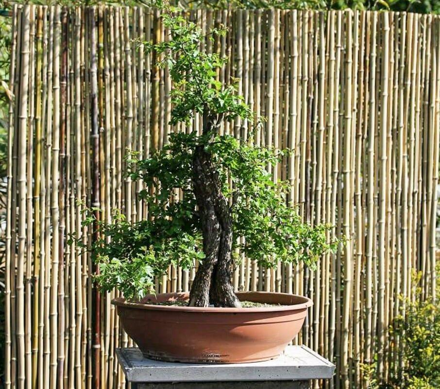 Bonsai Pflanzenveredelung, Okulieren von Weißdorn mit Rotdorn.