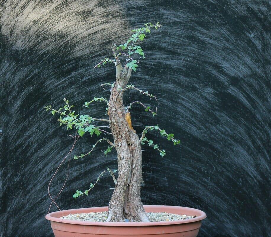 Bonsai Yamadori Echter Rotdorn 'Paul's Scarlet von Josef Burschl