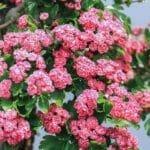 Blüten von einem Rotdorn Bonsai