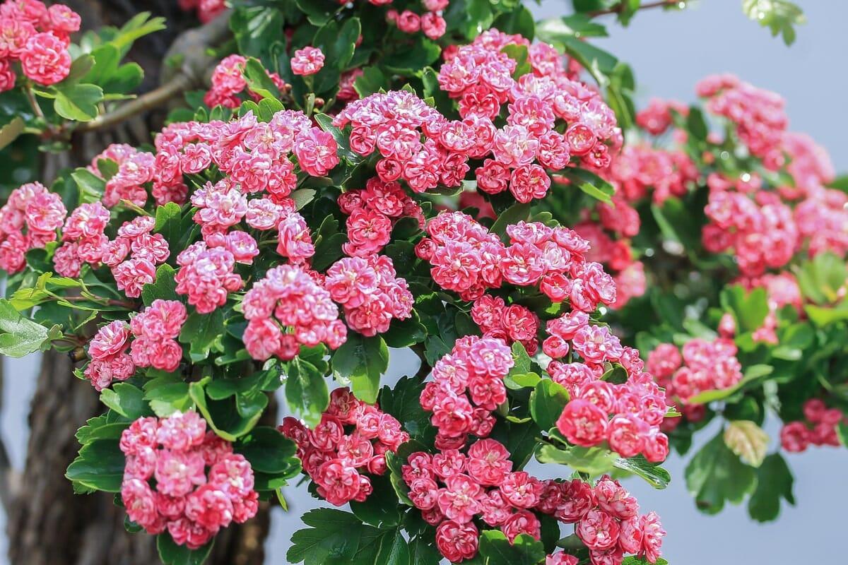 Blüten eines Bonsai Rotdorn 'Paul's Scarlet