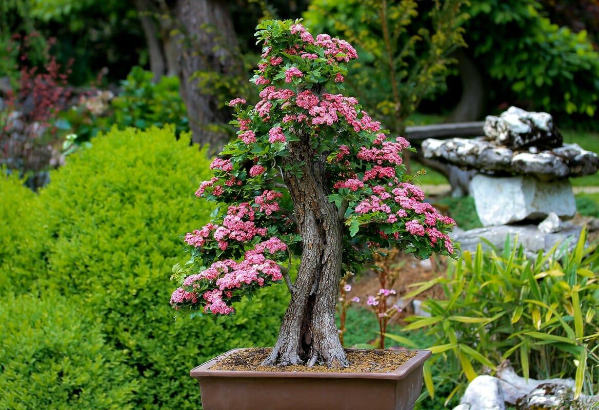 Bonsai Yamadori mit Blüten eines Rotdorn 'Paul's Scarlet
