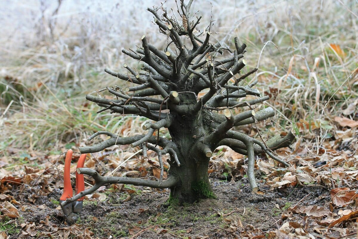 Hainbuchen Bonsai Carpinus betulus Yamadori in der Natur