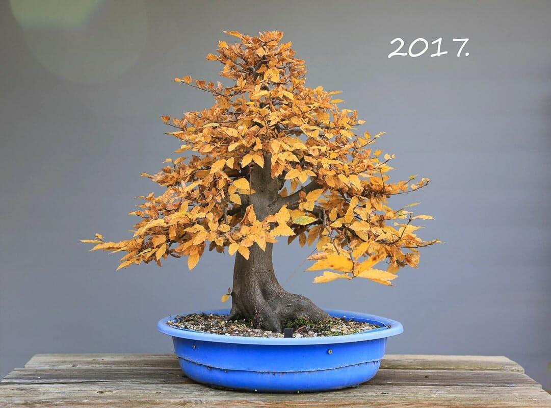 Hainbuchen Bonsai mit Herbstlaub