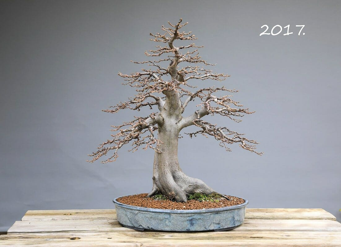 Hainbuchen Bonsai Winter 2017