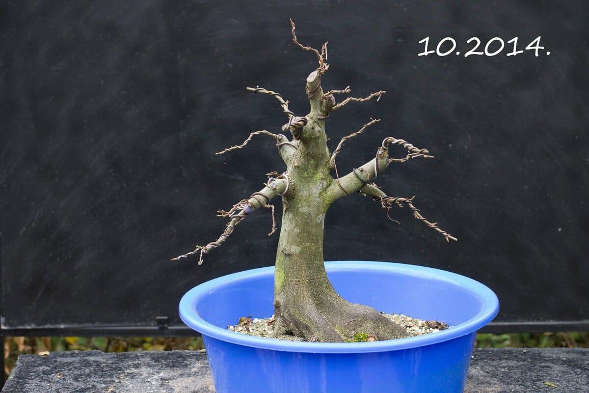 Hainbuchen Bonsai Carpinus betulus5