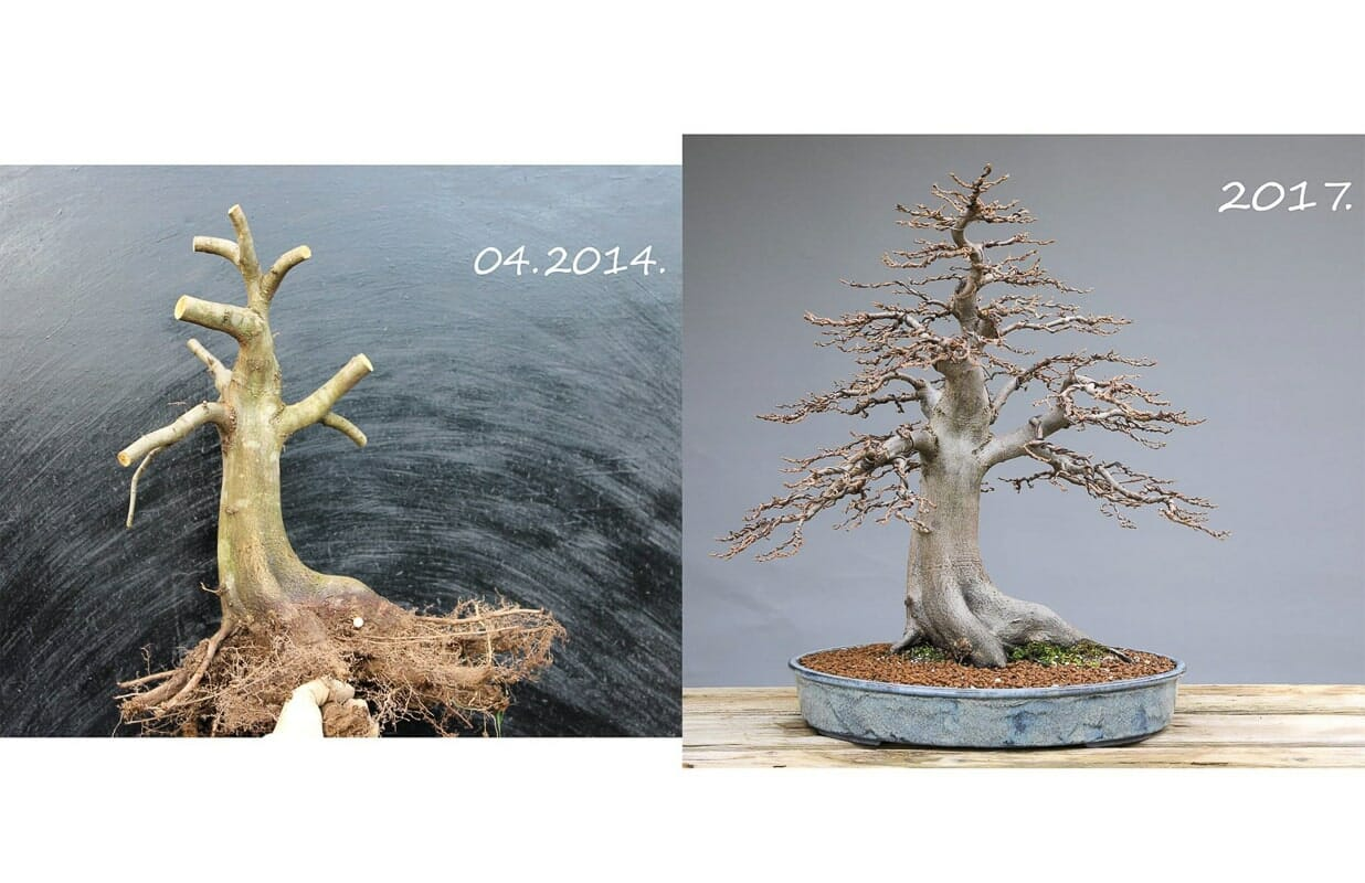 Bonsai Carpinus betulus Baumschule