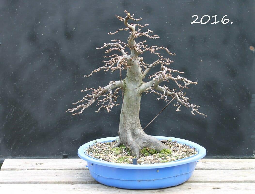 Hainbuchen Bonsai Carpinus betulus 2016