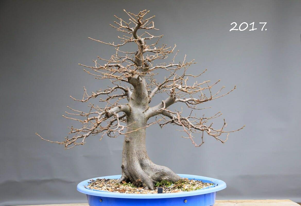 Hainbuchen Bonsai im Winter