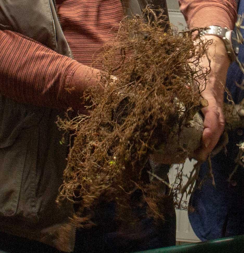 """Die Wurzeln von einer Olea europaea var. """"sylvestris"""" Bonsai von Walter."""