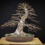 Unsere Top 10: Der schönsten Bonsai Bäume